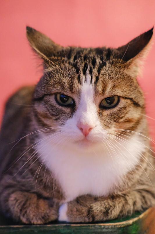 Heinz - Thuiswerk collega en kat van Tessa. Heinz zit voor een roze achtergrondscherm en kijkt alsof hij er genoeg van heeft.